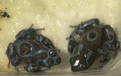 Two green and black poison dart frogs after they were confiscated at Ben Gurion airport, April 15, 2013. (photo credit: Israel Nature and Parks Authority/Flash90)