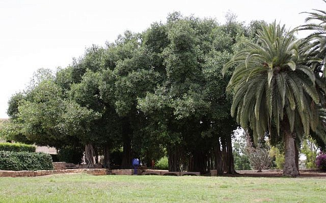 Some of Mikve's 'most Israeli' trees (photo credit: Shmuel Bar-Am)