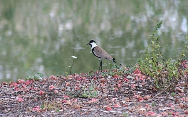 A spur-winged plover spotted on the bank of the Jordan River. (photo credit: Shmuel Bar-Am)