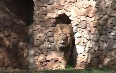 Ziv the Asian lion, a Swedish import, makes his debut at the Jerusalem Zoo. (photo credit: The Jerusalem Zoo)