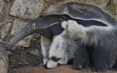 Two female giant anteaters, a mother-and-daughter pair recently imported from Denmark, play as they adjust to life in Ramat Gan. (photo credit: Tibor Jeger/Ramat Gan Safari)