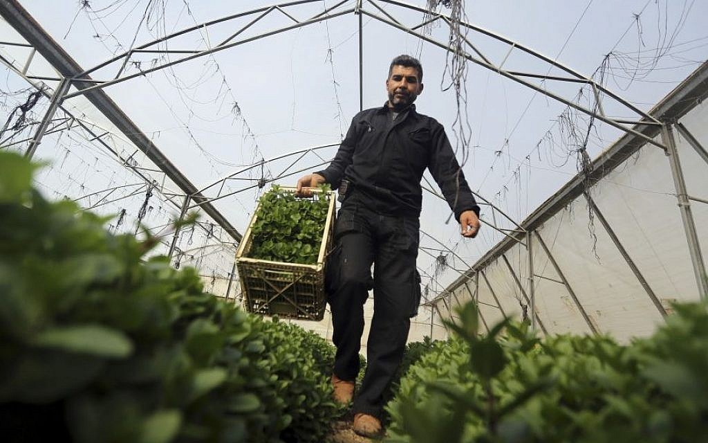 A Palestinian worker collects mint at a farm in al-Qarara, Gaza Strip, on February 2, 2014 photo. (photo credit: AP Photo/Hatem Moussa)