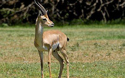 The endangered mountain gazelle. (photo credit: Wikimedia Commons/Bassem18)