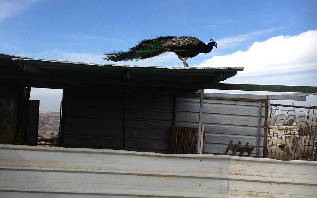 A peacock stands atop a shed in the village of Nabi Samwil, January 31, 2014 (photo credit: Elhanan Miller/TOI)