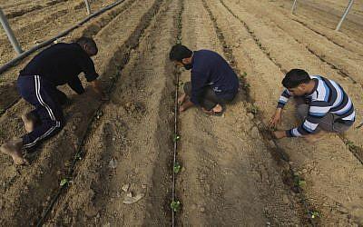 Palestinian workers plant mint seeds at a farm in al-Qarara, Gaza Strip, on February 2, 2014. (AP Photo/Hatem Moussa)