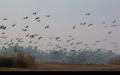 Migrating birds (Global Post Screen Shot)