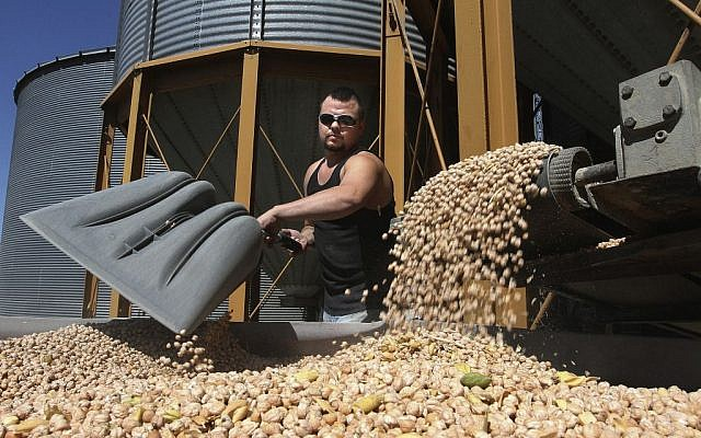 Florentino Ornelas, mill assistant at Blue Mountain Seed in Walla Walla, Washington, unloads chickpeas for processing at the plant, August 28, 2013 (photo credit: AP/Tri-City Herald, Paul T. Erickson, File)