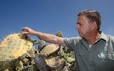 "KKL-JNF Chief Forester David Brand scattering ""Cryptolaemus montrouzieri"" beetles over an infected prickly pear cactus plant in northern Israel. (Ancho Gosh/Gini)"