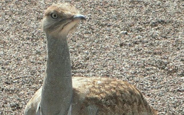 Houbara Bustard (photo credit: CC-BY-SA Wikipedia)