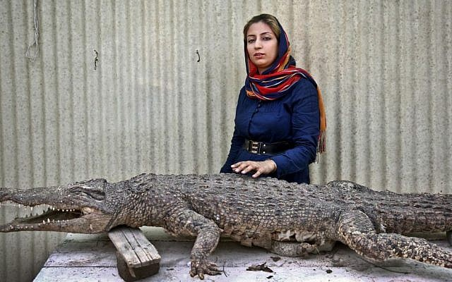 Iranian entrepreneur Mojgan Roostaei poses for a photograph with a taxidermic crocodile at her crocodile breeding farm on the southern Persian Gulf island, Qeshm in Iran. (photo credit: AP Photo/Ebrahim Noroozi)
