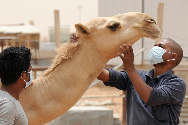 An Indian worker wears a mouth and nose mask as he touches a camel at his Saudi employer's farm on May 12, 2014, outside Riyadh. Camels have been cited as a possible vector for MERS. (photo credit: AFP/Fayez Nureldine)