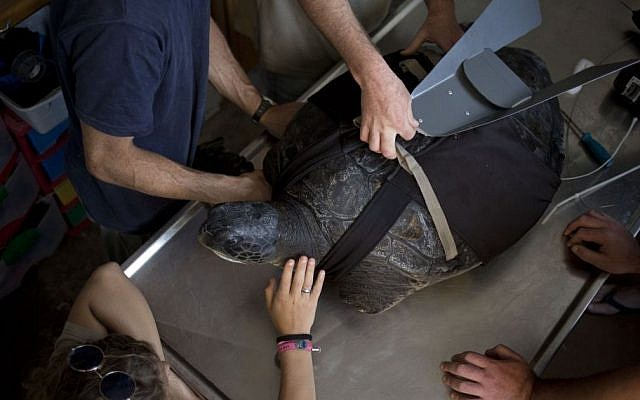 """In this photo taken Thursday, May 15, 2014, the green sea turtle, named """"Hofesh,"""" the Hebrew word for """"freedom,"""" is fitted with a prosthetic fin at the Sea Turtle Rescue Center in Michmoret, Israel. (Photo credit: AP/Ariel Schalit)"""