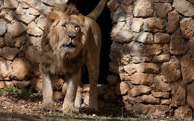 Ziv, the new male lion at Jerusalem's Biblical Zoo, getting comfy in his new lair (photo credit: Flash 90)
