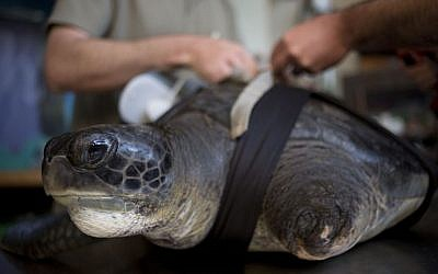 "In this photo taken Thursday, May 15, 2014, the green sea turtle, named ""Hofesh,"" the Hebrew word for ""freedom,"" receives a new prosthetic fin at the Sea Turtle Rescue Center in Michmoret, Israel. (Photo credit: AP/Ariel Schalit)"