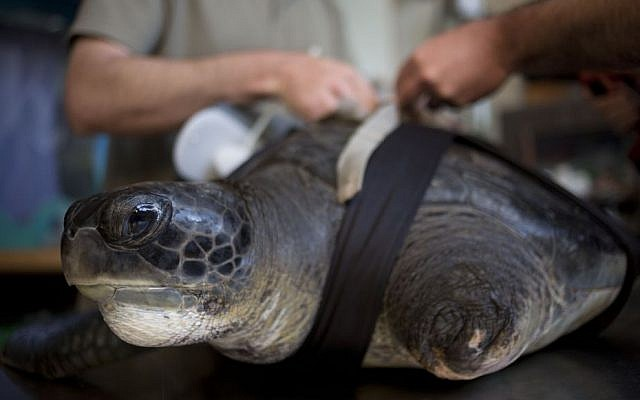 """In this photo taken Thursday, May 15, 2014, the green sea turtle, named """"Hofesh,"""" the Hebrew word for """"freedom,"""" receives a new prosthetic fin at the Sea Turtle Rescue Center in Michmoret, Israel. (Photo credit: AP/Ariel Schalit)"""