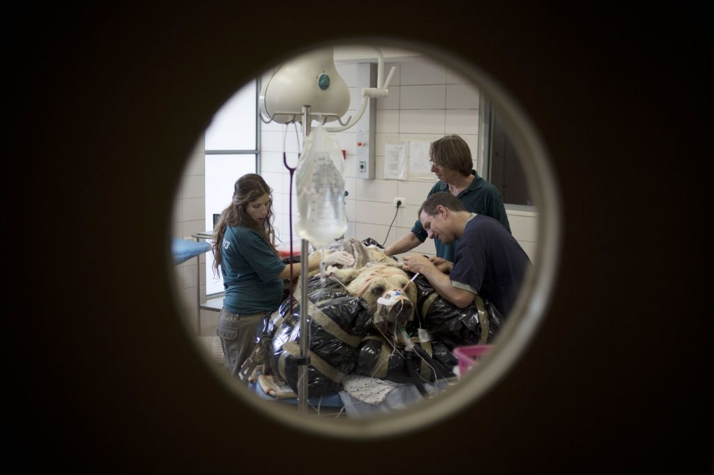 Mango rests on a bed as zoo veterinarians and staff prepare him for surgery in the Ramat Gan Zoological Center's animal hospital near Tel Aviv. (photo credit: AP Photo/Ariel Schalit)