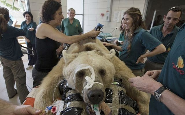 Mango, a 19-year-old male Syrian brown bear, rests on a bed as zoo veterinarians and staff prepare him for surgery in the Ramat Gan Zoological Center's animal hospital near Tel Aviv, Israel, Wednesday, May 7, 2014. The 250 kilogram (550 pound) Syrian brown bear is going into surgery to repair a herniated disc in his back after it was discovered in an x-ray, said Sagit Horowitz, the zoological center spokeswoman. (photo credit: AP Photo/Ariel Schalit)