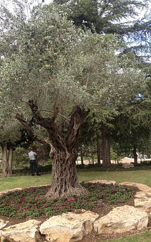 The olive tree higher up on Mount Herzl, near where the official Remembrance Day ceremony takes place (photo credit: Mitch Ginsburg/ Times of Israel)