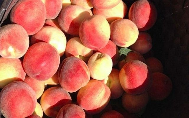A bountiful crop of peaches, waiting for recipes (photo credit: Jessica Steinberg/Times of Israel)