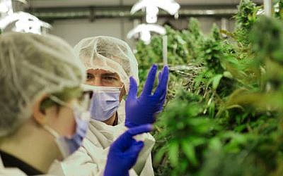 MedReleaf, a licensed producer and supplier of medical cannabis which works out of a 55,000 square foot state-of-the-art facility in Markham, Ontario. (courtesy)
