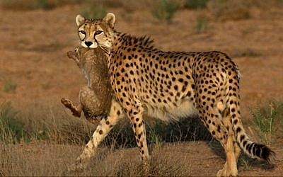 7-year-old male Asiatic Cheetah, named 'Koushki,' hunts a rabbit at the Miandasht Wildlife Refuge in Jajarm, northeastern Iran. (photo credit: AP Photo/Vahid Salemi)
