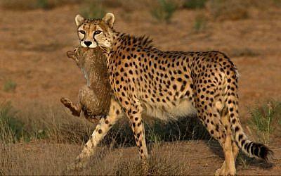 7-year-old male Asiatic Cheetah, named 'Koushki,' hunts a rabbit at the Miandasht Wildlife Refuge in Jajarm, northeastern Iran. (photo credit: AP Photo/Vahid Salemi)