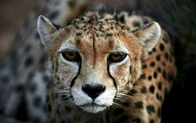 A 7-year-old male Asiatic Cheetah, named 'Koushki,' crouches at the Miandasht Wildlife Refuge in Jajarm, northeastern Iran. Iran is conducting a campaign to rescue the Asiatic Cheetah which has disappeared across South and Central Asia except fewer than 100 remaining in Iran. (photo credit: AP Photo/Vahid Salemi)