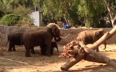 Elephants take cover from incoming rockets at the Ramat Gan Safari (screen capture: YouTube)