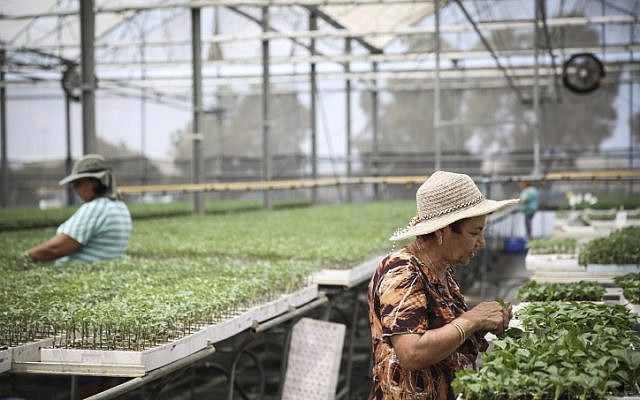 Israeli workers water seedlings at the Hishtil greenhouse in the southern Israeli city of Ashkelon, on July 20, 2014. (photo credit: Hadas Parush/Flash90)