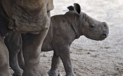 The birth of a female rhinoceros calf has been a cause for celebration at the Ramat Gan Safari. (photo credit: Tibor Jeger)