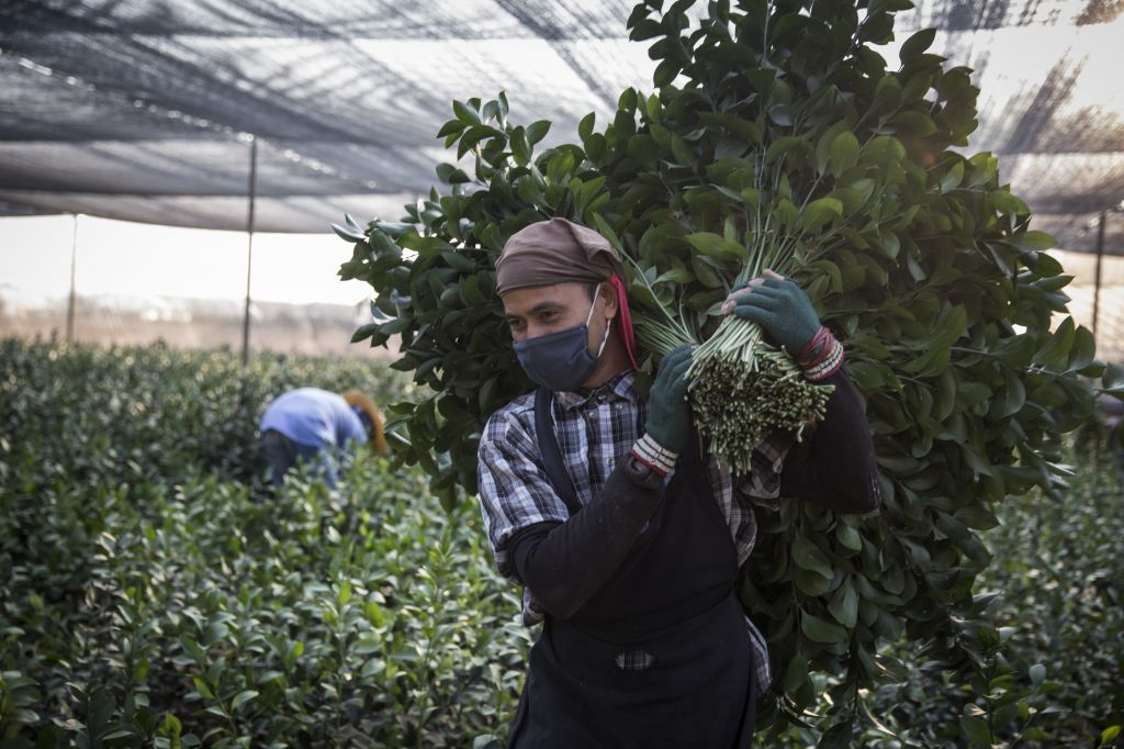 Thais are often hired as farm workers in Israel, but some Jews won't eat produce farmed by a non-Jew during a shmita year, even though it is often considered an acceptable solution by others (photo credit: Hadas Parush/Flash 90)