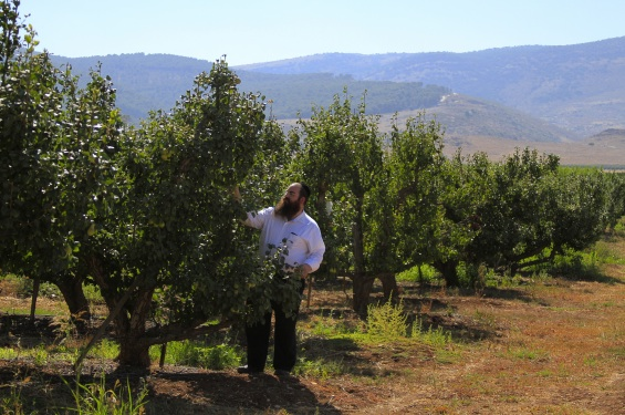 Simcha Margalioth's pear orchard in Mahanayim (photo credit: Shterny Boteach/Times of Israel)