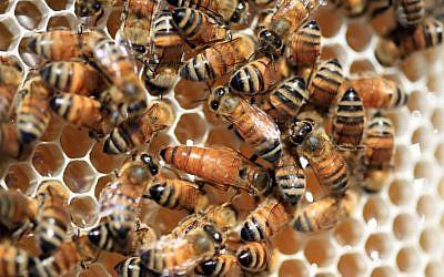 Illustrative photo of bees. (photo credit: Nati Shohat/Flash90)