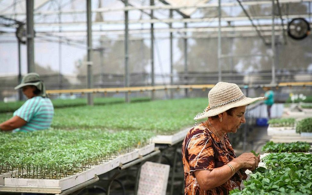 Israeli workers water seedlings at a greenhouse in Ashkelon. Hydroponic crops are one method of working around the restrictions of a shmita year (photo credit: Hadas Parush/Flash90)