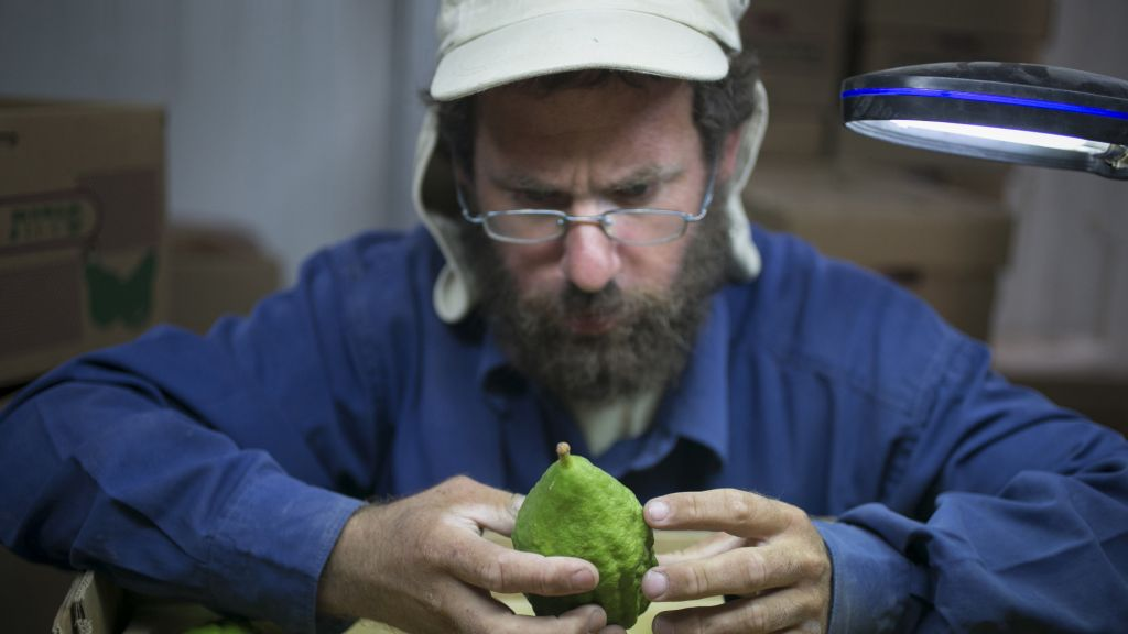 A worker at Halutza examines an etrog for export. (photo credit: Michal Fattan)
