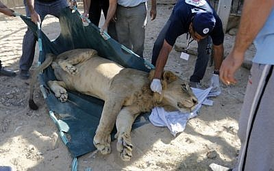 Staff prepare a lion to be transferred from the Gaza Strip's Bisan City tourist village zoo to Jordan through the Erez crossing with Israel, on September 30, 2014 in an operation organised by NGO Four Paws. (photo credit: AFP PHOTO / MOHAMMED ABED)