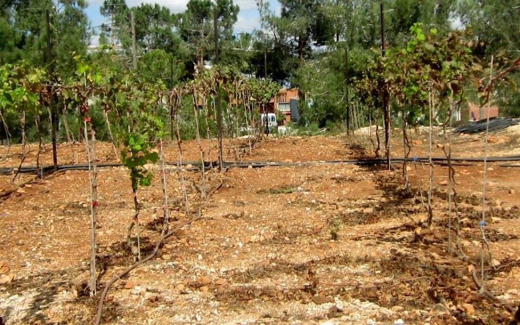 Grapes planted by Elyashiv Drori and his students in a small vineyard at Ariel University, September 30, 2014. (photo credit: Ben Sales/JTA)