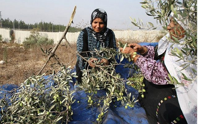 Illustrative photo of members of the Palestinian al-Sweity family harvest olive trees near West Bank village of Deir Samet near Hebron on October 11, 2014. (photo credit: AFP/HAZEM BADER)