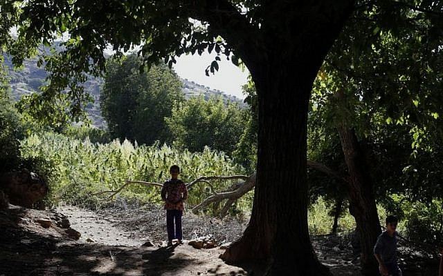 A child walks next to swaths of cannabis in the Village of Bni Hmed in the Ketama Abdelghaya valley, northern Morocco, on September 14, 2014. (photo credit: AP Photo/Abdeljalil Bounhar)