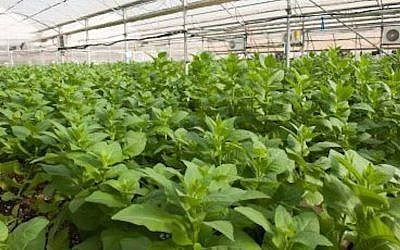 A CollPlant tobacco hothouse, used for 'growing' human collagen. Collplant's technology was developed at Hebrew University and commercialized by Yissum (Photo credit: Courtesy)