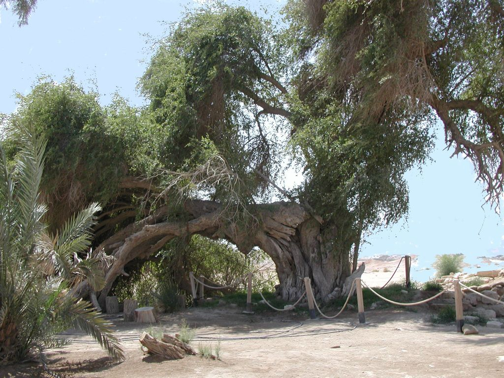 The Jujube at Ein Hazeva, the oldest in Israel (photo credit: Shmuel Bar-Am)