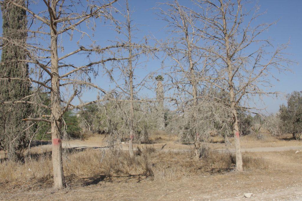 Dried out cypress trees at Abu Hof (photo credit: Shmuel Bar-Am)
