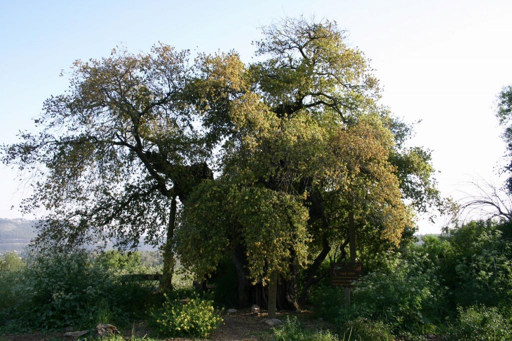 Kibbutz Tzuba's ancient oak (photo credit: Shmuel Bar-Am)