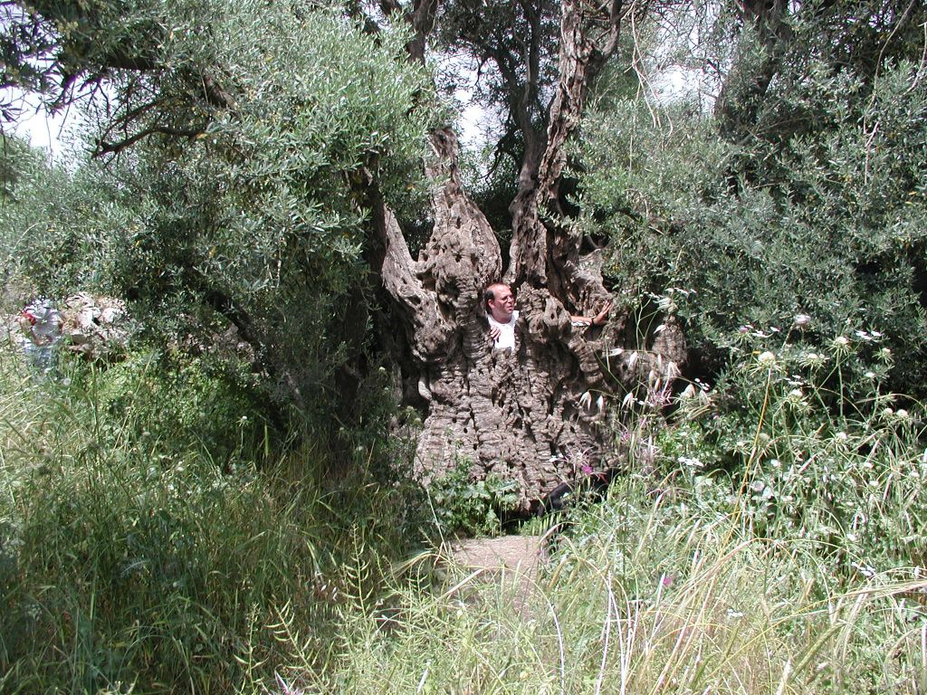 The olive tree at Tzuba, so hollow that you can climb inside (Photo credit: Shmuel Bar-Am)