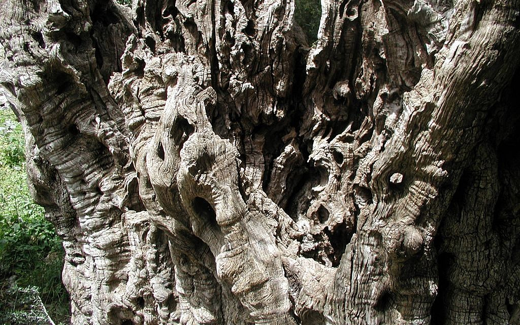 The gnarled ancient olive tree at Kibbutz Tzuba (photo credit: Shmuel Bar-Am)