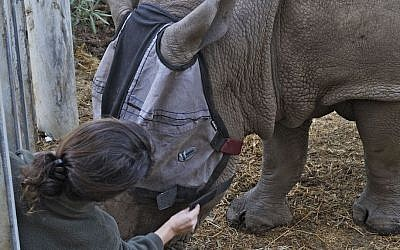Netta Guetta fits Tenda the rhino with her specially tailored face mask. (photo credit: Tibor Yager/Ramat Gan Safari)