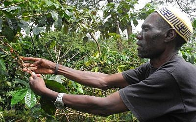 JJ Keki, a leader in the Abuyadaya Jewish community and the founder of Delicious Peace coffee cooperative, checks a coffee plant near Mbale. (Melanie Lidman/Times of Israel)