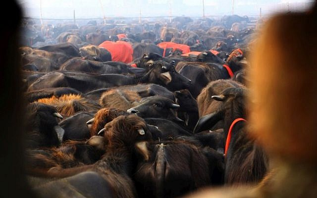 A herd of buffaloes stand before they are slaughtered during a mass sacrifice ceremony at Gadhimai temple in the jungles of Bara district, about 160 miles (100 miles) south of Katmandu, Nepal, Friday, Nov. 28, 2014. (Photo credit: AP/Sunil Sharma)