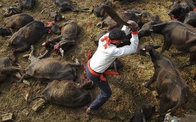 In this photo, butchers conduct the mass sacrifice killing of buffalos during the Gadhimai Festival in Bara, Nepal on Friday, November 28, 2014. (Photo credit: Kuni Takahashi/AP Images for Humane Society International)