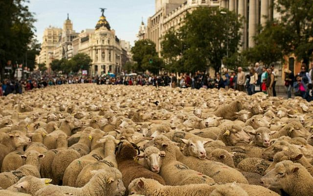 Shepherds lead their sheep through the center of Madrid, Spain, on Sunday, November 2, 2014. (photo credit: AP/Andres Kudacki)